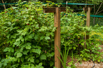 Raspberries grown on T-shaped trellis support systems in hedgerows are easier to harvest and prune, and have higher quality fruit.