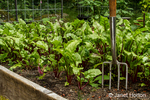 Rote Kugel, Detroit Red and Red Ace beets growing in a raised bed garden with a garden fork