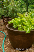 Looseleaf lettuce growing in a container