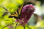Giant Swallowtail butterfly feeding on a Black Knight Butterfly bush