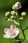 Sandhills Hornet flying above blackberry blossoms, after sipping the blackberry nectar