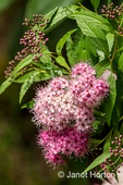 Little Princess Japanese Spirea blooms profusely in mid-to-late summer on a dense mound