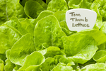 Tom Thumb butterhead lettuce plants growing