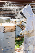 Female beekeepers using a bee smoker to distract bees in a hive