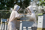 Female beekeepers lifting a honey super off of the hive so they can more easily check the health of the frames inside of it.