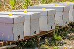 Starter beehives with five frames, including a queen bee