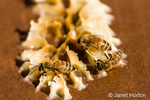 Honeybees on beeswax on the lid of a starter beehive