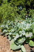 Cabbage and other vegetables growing