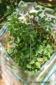 Tomato plant in a tomato cage