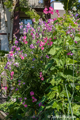 Sweet Pea flowers as well as vegetables are grown at the Providence Point Pea Patch Garden