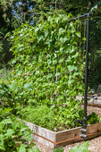 Sturdy bean trellis made of PVC pipe and garden twine