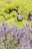 California Quail perched atop a lavender bush that has had its lavender harvested, at Pelindaba Lavender Farm