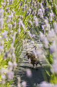 California Quail hiding between lavender bushes at Pelindaba Lavender Farm
