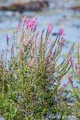 Purple or Spiked Loosestrife wildflowers