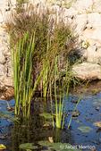 Purple Loosestrife, Arrow Arum and waterlilies
