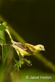 Female American Goldfinch on sunflowers