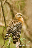 Red-shouldered Hawk stretching his wing