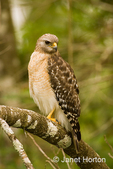 Red-shouldered Hawk sitting in a tree, looking for prey.