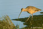 Long-Billed Curlew eating in tidal mudflats