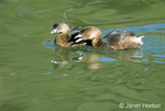 Male and female Pied-billed Grebe swimming in a pond