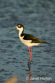 Black-necked stilt standing in tidal mudflats