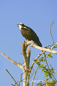 Osprey with open beak, sitting in a dead tree calling for its mate