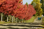 Maple trees in Autumn foliage next to orchard along the gravel road to a farm house
