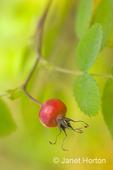 Wild rose hip close-up