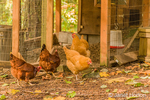 Free-ranging Buff Orpington and Rhode Island Red chickens, walking outside their coop