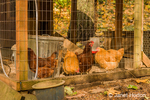 Buff Orpington and Rhode Island Red chickens inside their coop