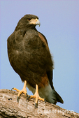 Harris' Hawk on-the-lookout for prey