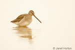 Long-billed Dowitcher wading