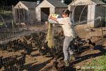 Woman feeding Black Australorp chickens