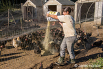 Woman feeding Black Australorp chickens