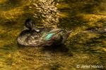 A Cayuga free-range domestic duck swimming in a stream by its farm