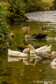 A flock of domestic Pekin and Cayuga domestic free-range ducks join a domestic Chinese Goose and wild Mallard ducks in a stream by their farm.