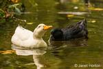 Pekin and Cayuga domestic free-range ducks swimming in a stream beside their farm