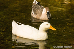 Domestic free-range Pekin duck and Chinese Goose swimming in the stream by their farm