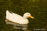 Domestic free-range Pekin duck swimming in the stream by its farm