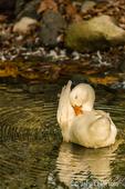 Domestic free-range Pekin duck preening in the stream by its farm