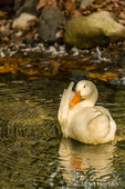Domestic free-range Pekin duck preening in the stream by its farm