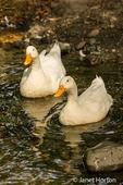 Domestic free-range Pekin ducks swimming in the stream by their farm