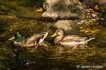 Male and female wild Mallard ducks swimming in a stream by a farm