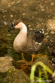 Domestic free-range Chinese Goose standing by the side of a stream next to its farm