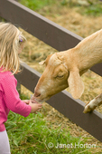 Young girl feeding Nubian goat (named Whassup) who is poking his head through the fence