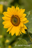 Sunflower with honeybee pollinating it