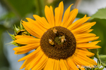 Sunflower with honeybees pollinating it