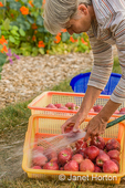 Woman washing freshly harvested Red Delicious apples