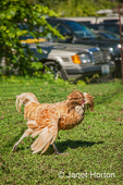 Buff Laced Polish rooster at Dog Mountain Farm, with cars in the background as it was a harvest festival day to draw in the public to the farm to generate additional farm sales