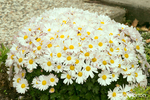 Cluster of White Chrysanthemums